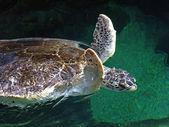 Turtle Flap — Stock Photo