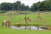 Giraffes Safari Park — Stock Photo