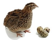 Quail — Stock Photo