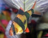 Peixes de aquário — Foto Stock