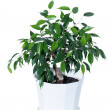Royalty-Free Stock Photo: Ficus