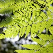 Fern — Stock Photo #1396856