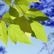 Maple — Stock Photo #1409043