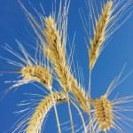 Wheat close-up — Stock Photo #1520540