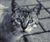 Black and White Cat with blue Eyes — Stock Photo