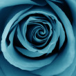 Close-Up of azure rose - Foto de Stock  