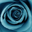 Close-Up of azure rose - Stockfoto