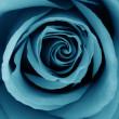 Close-Up of azure rose — Stock Photo