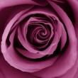 Close-Up of fuchsia rose - Foto de Stock  