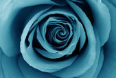 Close-Up of azure rose — Stock Photo