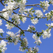 Blossoms apple tree — Stock Photo
