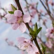 Blossoms apricot — Stock Photo