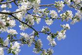 Blossoms apple tree — Stock Photo