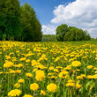 Dandelions — Stock Photo #1377078
