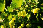 Green gooseberry garden — Stock Photo