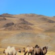 Camels on mountains — Stock Photo #1369143
