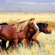 Horses on altai - Stock Photo