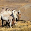 Altai camel — Stock Photo #1369275