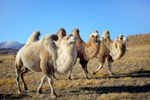 Camels on mountains — Stock Photo