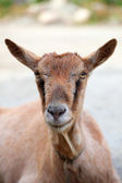 A goat head close-up — Stock Photo
