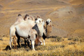 Altai camel — Stock Photo