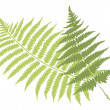 Fern leaves — Vettoriali Stock