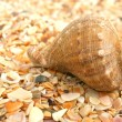 Cockleshell on sea sand — Stock Photo #1556881