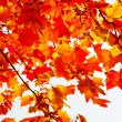 Stock Photo: Colored maple leaves on branch