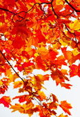 Colored maple leaves on branch — Stock Photo