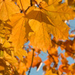 Maple leaves and blue sky as background — Stock Photo