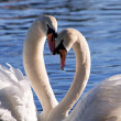 Two swans on lake — Stock Photo