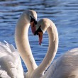 Stock Photo: Two swans on lake