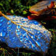 Stock Photo: Abscissed leaf with blue drops