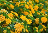 A lot of yellow flowers — Stock Photo