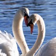 Stock Photo: Family of swans on lake