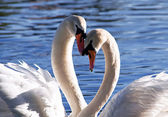Family of swans on lake — Stock Photo