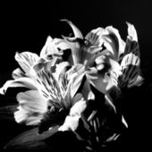 Flowers in monochrome — Stock Photo