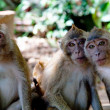 Stock Photo: Portrait of three monkeys