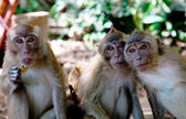 Portrait de trois singes — Photo