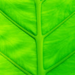 Green leaf with vains - Stock Photo