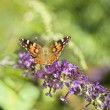Monarch butterfly on butterfly bush - Stock Photo