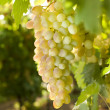 White grapes on vine - Stock Photo