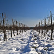 Royalty-Free Stock Photo: Vineyard at snow