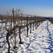 Vineyard at snow - Stock Photo