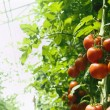 Stock Photo: Greenhouse tomatoes