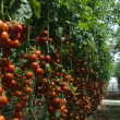 Greenhouse tomatoes - Photo