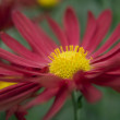 Red Chrysanthemum — Stock Photo