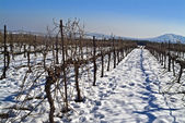 Vineyard at snow — Stock Photo