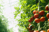Greenhouse tomatoes — Stock Photo