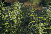 A bush of sage with strong back light — Stock Photo